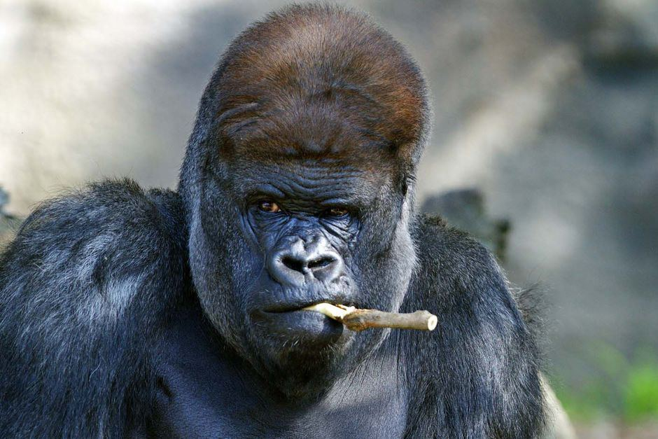 Silverback gorilla named Kibabu | https://www.abc.net.au/news/2010-11-18/silverback-gorilla-named-kibabu/2339178